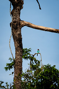 BIRD - Dollarbird-0851