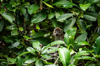 MONKEY - macaque - longtail -  -0446