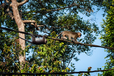 MONKEY - macaque - longtail - crossing river antics-0149