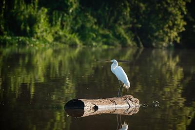 BIRD - Egret-0008