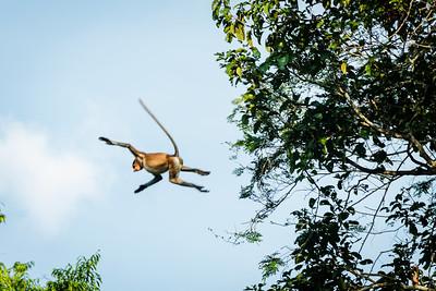 MONKEY - proboscis - jumping-9751