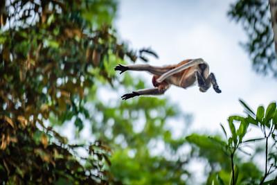 MONKEY - proboscis - jumping-0724