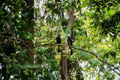 BIRD - hornbill - bushy-crested hornbill-0374