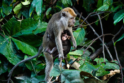 MONKEY - macaque - longtail - mom and newborn baby-0241