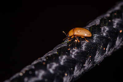INSECT - beetle-0584