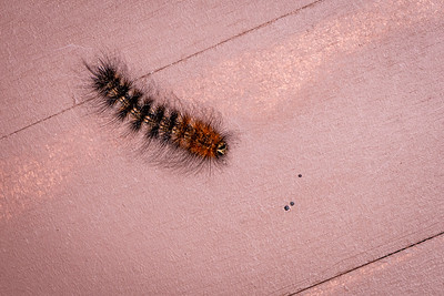 INSECT - caterpillar hairy-0544