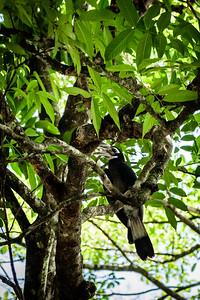 BIRD - hornbill - bushy-crested hornbill-0399