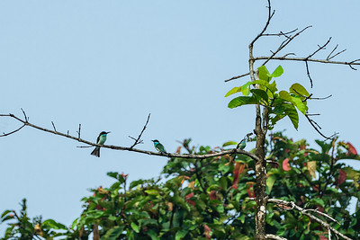 BIRD - bee-eater blue throated eating butterfly-1942