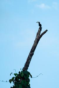 BIRD - Hornbill -oriental pied -1224