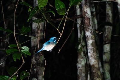 BIRD - flycatcher - Bornean blue-1820