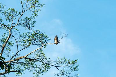 BIRD - Eagle - lesser fish eagle-1315