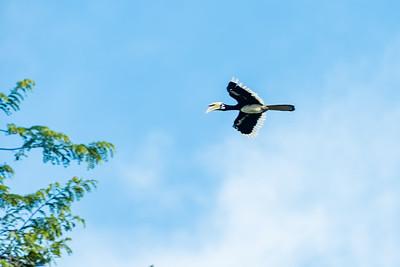 BIRD - Hornbill -oriental pied -1096
