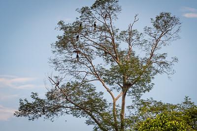 BIRD - Hornbill - 7 rhinocerous, an eagle and 2 nests-1541