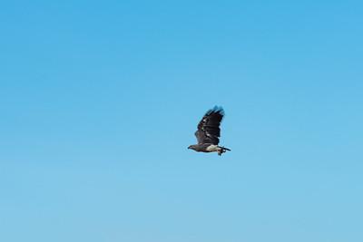BIRD - Eagle - grey headed fish eagle with prey-1502