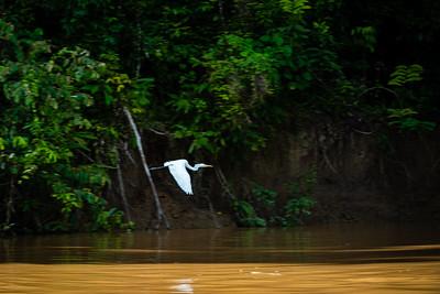 BIRD - Egret-0998