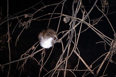BIRD - ? white chested babbler ? sleeping-1823