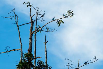 BIRD - pidgeon green imperial-1692