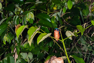 BIRD - kingfisher blue earred-1819