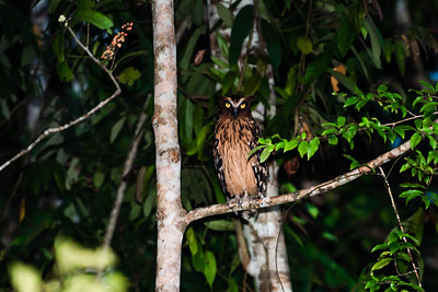 BIRD - OWL - Buffy fish owl-1259