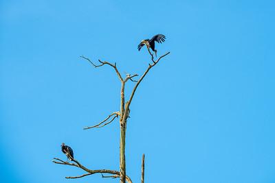 BIRD - Stormm's stork-1632