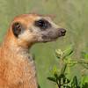 Meerkat (Stokstaartje)