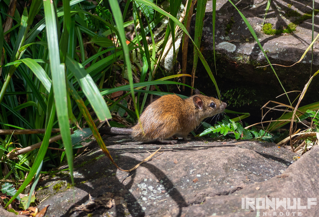 An endemic Camiguin forest rat (Apomys camiguinensis)
