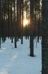 Noon sun seen through the woods in a National Park outside Oulu.