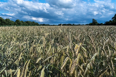 A wheat field in Worpswede.