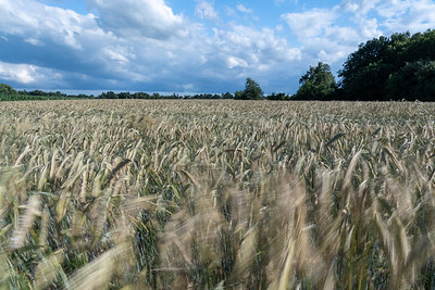 A wheat field on a windy day in Worpswede.