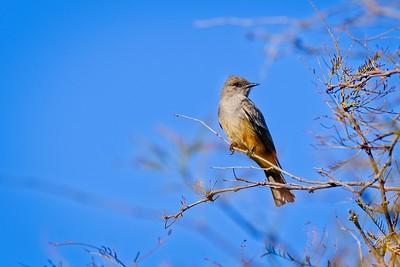 Vermilion Flycatcher Female