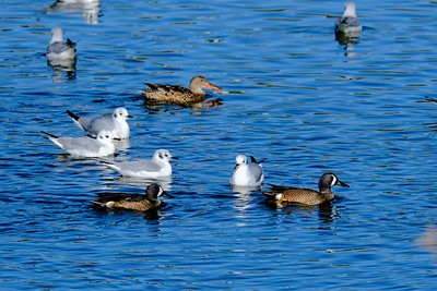 Bonaparte's Gulls and Blue Wing Teals