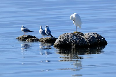Snowy Egret and Bonaparte's Gulls
