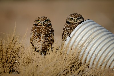 Burrowing Owl Pair in Manmade Nesting Pipe
