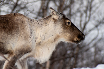 A loose reindeer along the road in Abisko.