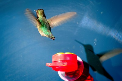 Costa Hummingbird using our Window Feeder