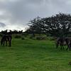 Exmoor Pony - Porlock Common - Exmoor - Somerset (October 2020)
