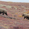 In this Sept. 11, 2011 photo, two bears walk across the tundra at Denali Nation