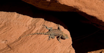 monument valley lizard