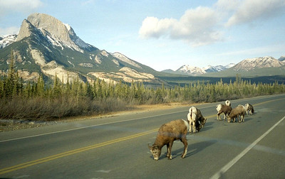 Bighorn sheep licking salt off the pavement on Trans-Canada Highway 16 (The Yellowhead Hwy.) just east of Jasper.