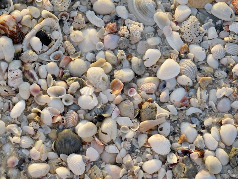 Shells, Naples Florida June 2012 Copyright Sue Steinbrook