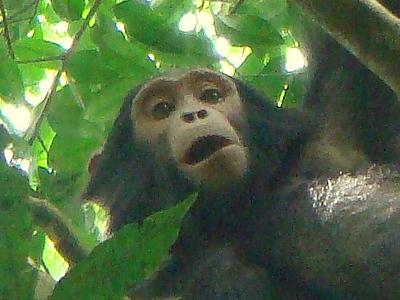 98.5% Of Our DNA (Chimps in Kibale Forest, Uganda)