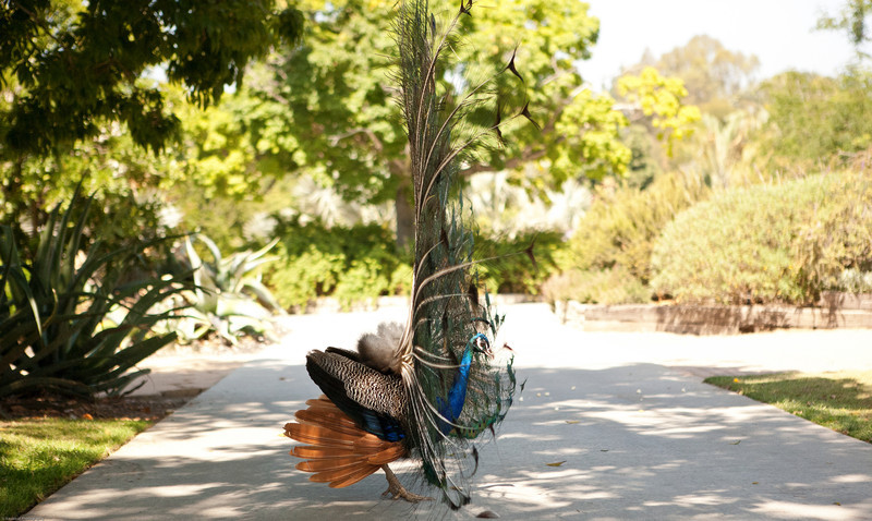Leilani saw this peacock showing off his feathers and we hurried and got just in time to get a few shots.  Good catch, Lani!