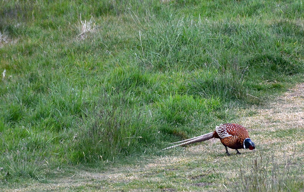 A pheasant didn't seem too bothered by us.