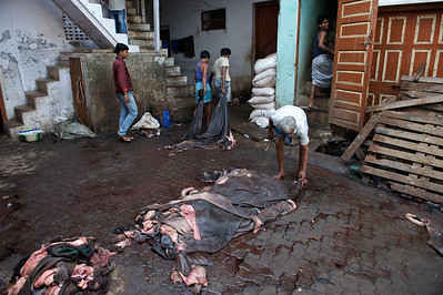 Tanners handling fresh cow hides, Dharavi.