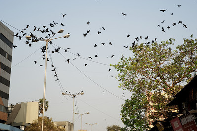 Crows, Dharavi.