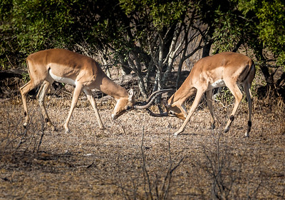 Impalas Playing