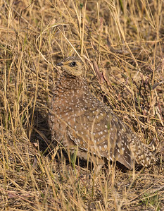Female Namaqua Sandgrouse