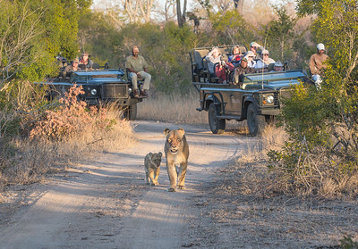 Lioness and Cub with Land Rovers
