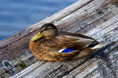different angle of the smug-looking duck