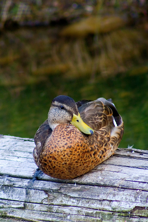 smug-looking duck